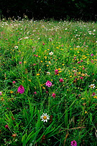 Wild flower meadow with Bird's foot trefoil, Pyramidal orchid, Clover and Dog Daisy. Shropshire, England, UK, Europe  -  Jason Smalley