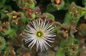 Ice plant flower {Mesembryanthemum crystallinum} Alicante, Spain - Jose B. Ruiz