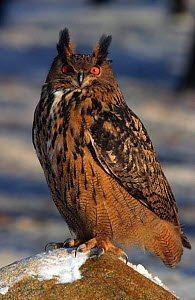 Eagle Owl, captive {Bubo bubo} Germany  -  Christoph Becker