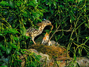 Mistle thrush {Turdus viscivorus} feeding chicks at nest  UK  -  Jim Hallett