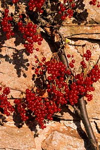 Cultivated redcurrant fruit {Ribes rubrum} Scotland  -  Brian Lightfoot