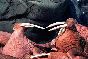 Two walrus facing one another. {Odonbenus rosmarus} Round Island, Alaska  -  Neil Lucas