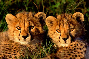 Cheetah cubs portrait {Acinonyx jubatus} Kenya, East Africa  -  Peter Blackwell