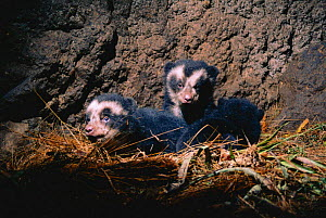 Spectacled bear cubs in den {Tremarctos ornatus} Andes, Ecuador  -  JIM CLARE