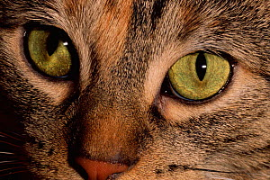 Domestic cat's eyes {Felix catus} USA - Larry Michael