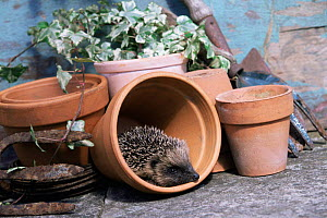 Hedgehog in flowerpot {Erinaceus europaeus} Yorkshire, UK - Paul Hobson