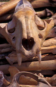 Tiger skull and bones. Confiscated from illegal trade. {Panthera tigris} India  -  Vivek Menon