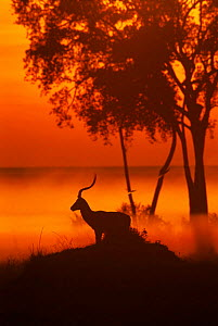 Impala male {Aepyceros melampus} at sunrise, Maasai Mara, Kenya, East Africa  -  Peter Blackwell