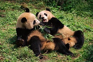 Giant pandas {Ailuropoda melanoleuca} playing and eating bamboo. Qionglai Mts, Sichuan, China Captive. - Lynn M Stone