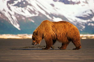 Brown bear {Ursus arctos} walking with mountains and snow in background. Halo Bay, Alaska.  -  Neil Lucas