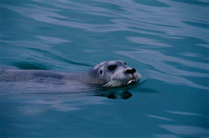 Bearded seal swimming {Erignathus barbatus} Svalbard, Norway - Staffan Widstrand