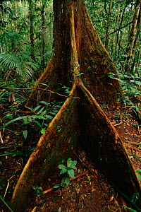 Tree buttress roots - special adaptation for shallow soils in tropical rainforest. Manu NP Peru.  -  Staffan Widstrand