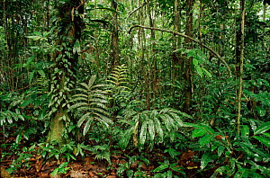 Interior of tropical rainforest understorey, Aguarico, Ecuador. South America  -  Staffan Widstrand