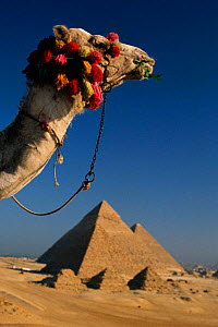 Camel's head with Pyramids of Giza in background. Cairo, Egypt. - Staffan Widstrand