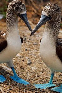 Two Blue footed boobies {Sula nebouxie} courtship display. Galapagos, Ecuador.  -  Staffan Widstrand