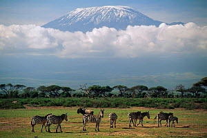 Mount Kilimanjaro above the clouds, with zebra in foreground. Amboseli NP, Kenya.  -  Staffan Widstrand