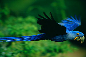 RF- Hyacinth macaw (Anodorhynchus hyacinthinus) flying. Pantanal, Brazil. (This image may be licensed either as rights managed or royalty free.)  -  Staffan Widstrand