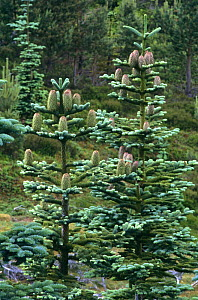 Noble fir tree with cones {Abies procera} Scotland, UK - Brian Lightfoot