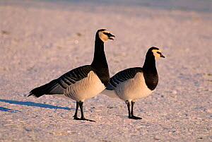 Barnacle Geese {Branta leucopsis} standing on ice UK - John Cancalosi