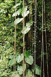Tropical rainforest lianas (climbing vines) Trinidad, Caribbean.  -  Staffan Widstrand