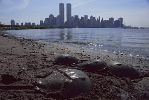 Horseshoe crabs {Limulus polyphemus} spawning on beach, Manhattan, New York.  -  Rupert Barrington