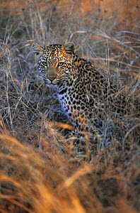 Leopard (Panthera pardus) sitting in grass. Kruger NP, South Africa - Tony Heald