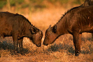 Two African buffalo calves facing one another {Syncerus caffer} Kruger NP, South Africa  -  Tony Heald