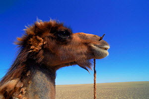Male domestic Bactrian camel {Camelus bactrianus} rope through nose to controll it, Gobi desert, Mongolia - Gertrud & Helmut Denzau