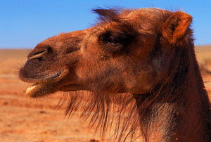 Domestic Bactrian camel {Camelus bactrianus} - hair round eyes is adaptation to deserts, prevent sand blowing in eyes. Gobi desert, Mongolia. (Hair is adaptation to deserts, prevent sand blowing in ey...  -  Gertrud & Helmut Denzau