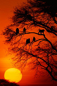 Olive baboons {Papio anubis} in tree at sunset, Masai Mara NR, Kenya - Anup Shah