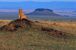 Young male Lion {Panthera leo} sitting on top of termite mound, Masai Mara NR, Kenya - Anup Shah
