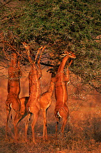 Group of Gerenuk {Litocranius walleri} feeding on leaves. Masai Mara NR, Kenya  -  Anup Shah