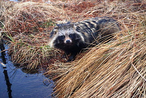 Raccoon dog at river edge {Nyctereutes procyonoides} Belarus, Russia - Dr Vadim Sidorovich