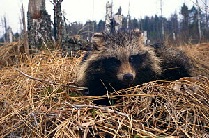 Raccoon dog {Nyctereutes procyonoides}  Belarus, Russia - Dr Vadim Sidorovich