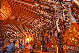 Snow leopard furs (confiscated) used as decoration inside yurt (tent), Gobi Desert, Mongolia.  -  Gertrud & Helmut Denzau