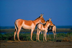 Side profile of adult & foal Khur (Asiatic wild ass) {Equus hermionus khur}, India - Gertrud & Helmut Denzau