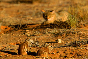 African wild cat (Felis sylvestris libyca) stalking Ground squirrel (Xerus sp.). Kalahari Gemsbok NP, South Africa  -  Francois Savigny