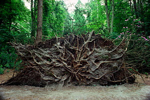 Common yew tree {Taxus baccata} uprooted by hurricane 1987 showing roots England, UK - Adrian Davies