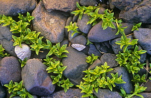 Sea purslane on rocky beach {Honkenya pepliodes} Montrose, Scotland, UK  -  Nigel Bean