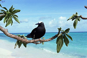 White capped noddy {Anous minutus} perched on tree at beach, Heron Island, Great Barrier Reef, Queensland, Australia - Steven David Miller