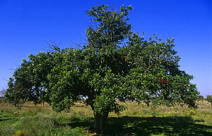 Carob tree {Ceratonia siliqua} Alicante, Spain  -  Jose B. Ruiz