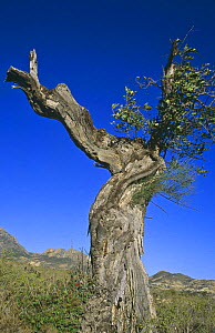 Withered Carob tree {Ceratonia siliqua} Alicante, Spain  -  Jose B. Ruiz