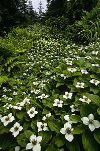 Bunchberry {Cornus canadensis}plants flowering in coniferous forest, St Lawrence, Canada - Louis Gagnon