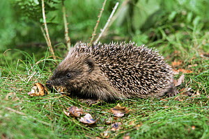 Hedgehog eating snails {Erinaceus europaeus} Yorkshire, UK snail (Helix aspersa)  -  Paul Hobson