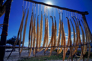 Rattlesnake meat drying for medicinal use. Mexico, Central America - Neil Lucas