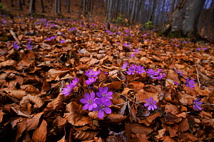 Hepatica {Hepatica nobilis} flowering in beech woods. Germany - Dietmar Nill
