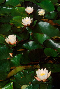 White water lily in flower {Nymphaea alba} Scotland, UK - Brian Lightfoot