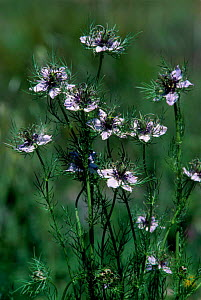 Love in a Mist in flower {Nigella arvensis} Spain - Jose B. Ruiz
