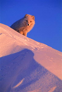 Arctic fox {Vulpes lagopus} looking over snow dune, Ellesmere Island, Canada  -  Staffan Widstrand