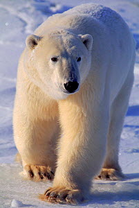 Portrait of Polar bear {Ursus maritimus} walking in snow, Churchill, Manitoba, Canada  -  Staffan Widstrand